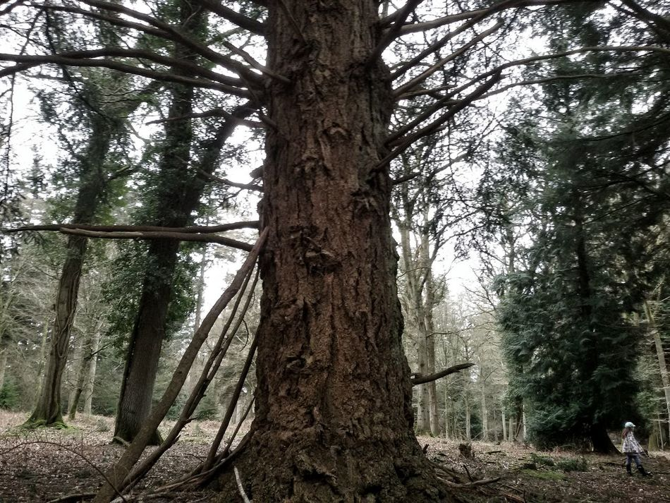 Big giant tree,little girl ☺ Tree Giant Forest Wood Girl Branches American Species Vegetal World Exploring Rhinfield New Forest Hampshire  South Uk
