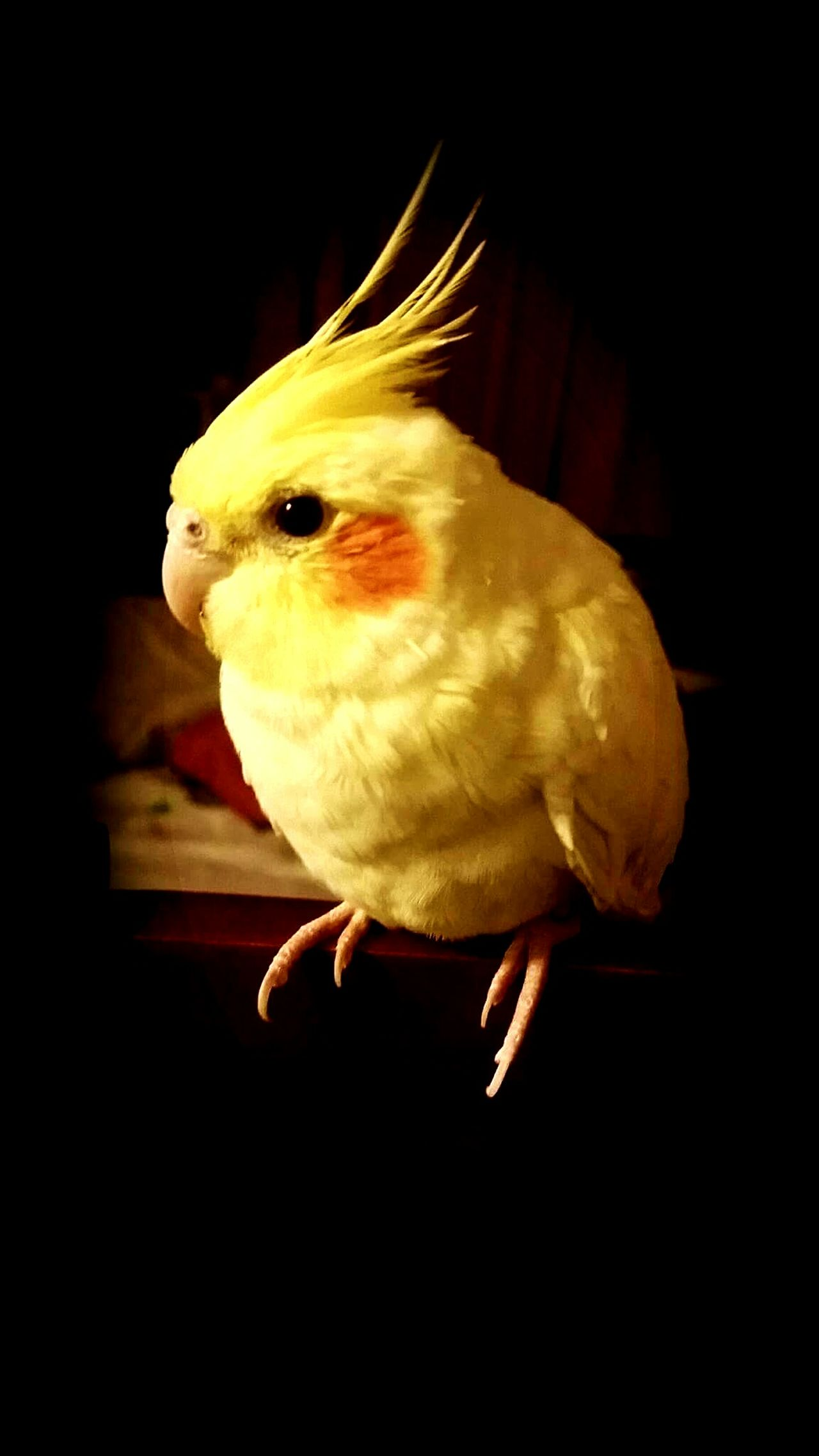 Cockatiel Cockatiel Cockatiels Cockatielsofinstagram Cockatiel Love Pikachu Bird One Animal Animal Pets Animal Body Part Domestic Animals No People Animal Themes Indoors  Close-up Yellow Bird Spring Has Arrived Beauty In Nature