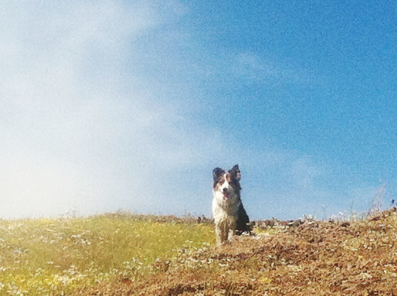 one animal, animal themes, mammal, domestic animals, day, pets, field, outdoors, no people, sky, nature, dog, grass, looking at camera, animals in the wild, sitting, portrait, clear sky