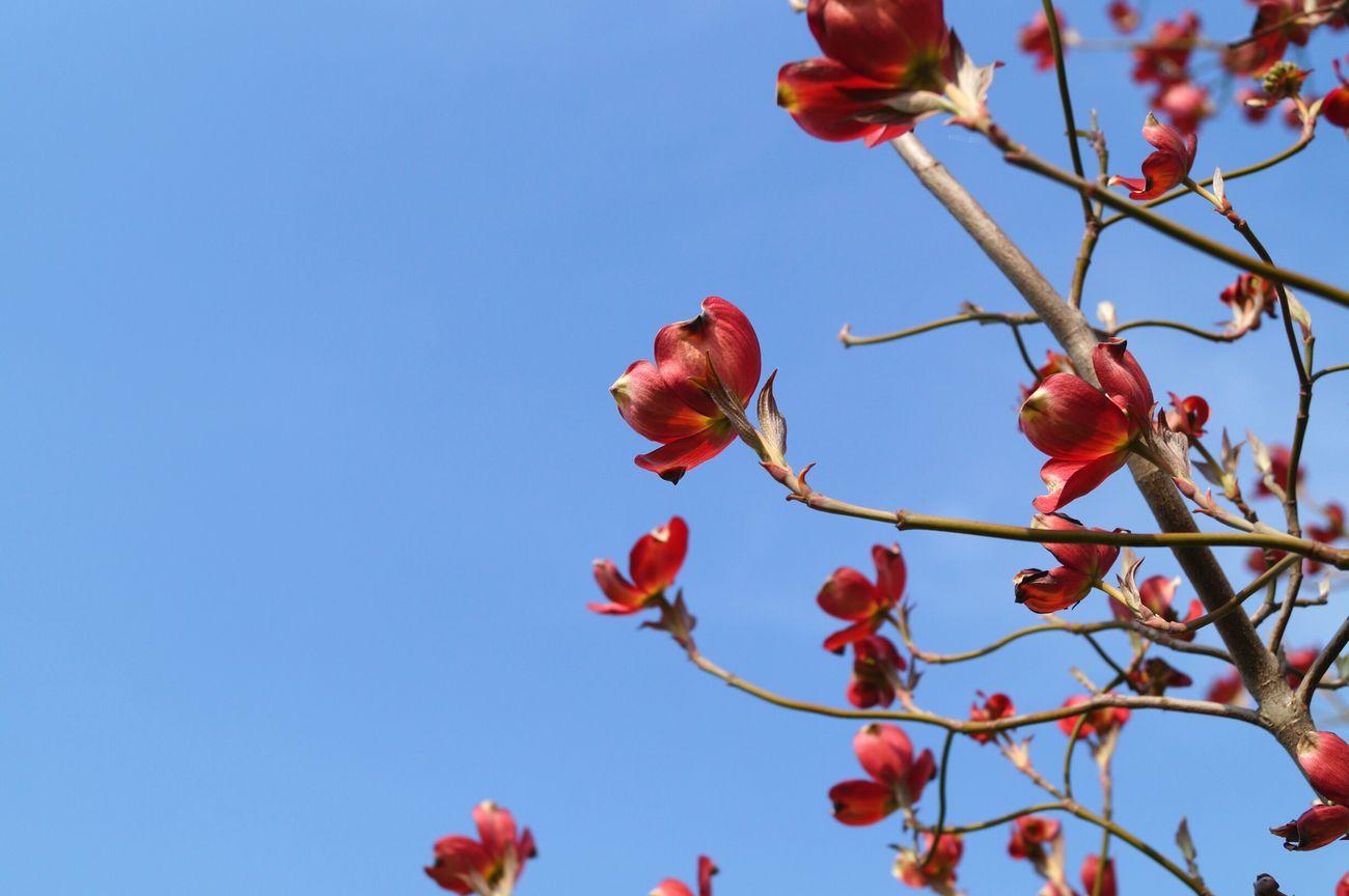 桜も終わりです。ハナミズキが咲き誇ってますね! ハナミズキ 春 Spring 2016 ふくしま FUKUSHIMA Sony Alpha57 花水木 福島市 Nature Photography Flowers