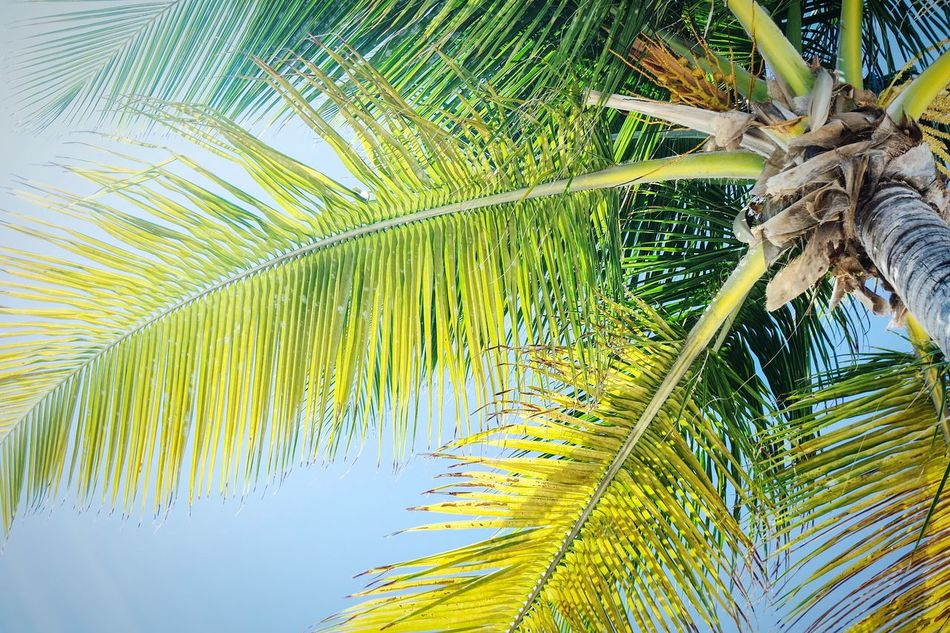 Looking up Close-up Nature Outdoors No People Growth Tree Palm Tree Leaf Day Beauty In Nature Sky Lookingup Palm Tree Beauty In Nature Tropical Climate Focus On Foreground EyeEm Best Shots Eye4photography  Travel Destinations Landscape Fresh 3 Open Edit Vacations Tree Beach