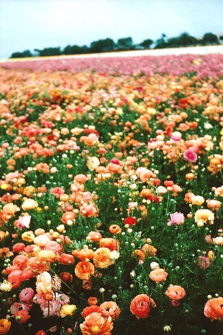 flower, nature, beauty in nature, growth, freshness, field, fragility, plant, petal, outdoors, flower head, day, no people, blooming, focus on foreground, tranquility, flowerbed, landscape, scenics, close-up, sky, poppy