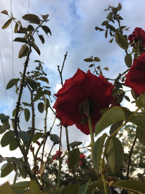 Day Flower Head Outdoors Plant Branch Blooming Fragility No People Beauty In Nature Petal Freshness Flower Nature Close-up Flowers Roses Rose🌹