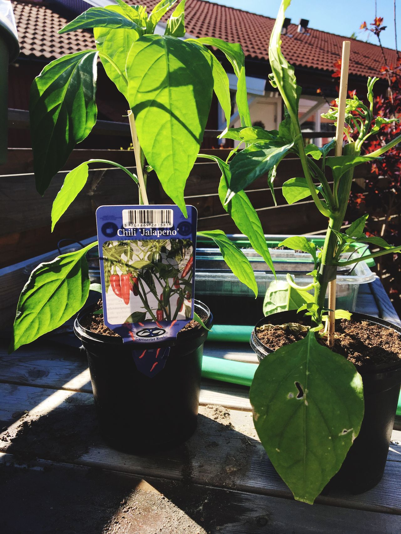 My new chilli-willy plants. A Jalapeno and a monster. The monster fruits needs gloves to be handled... :-/ Plant Chilli Jalapeños Habanero SuperStrong Heat