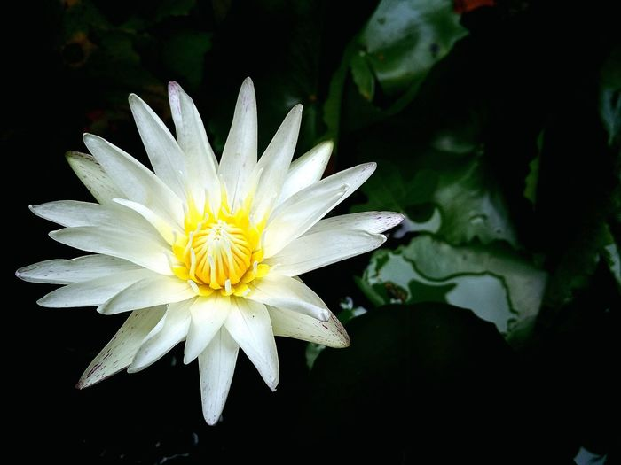 Photo♡ Lotus Pure Nature A Day In Thailand Homesick :(