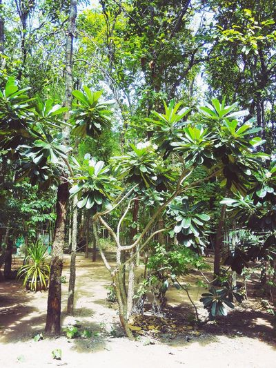 Leelawadee (Frangipani) in Thai temple Flowers Trees
