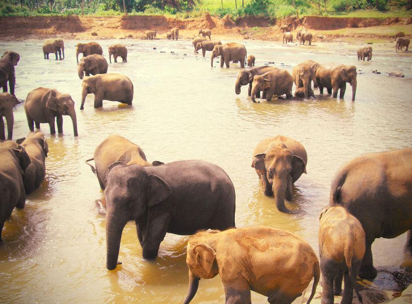 2006 Animal Animals In Captivity Animals In The Wild Elephant Large Group Of Animals Outdoors SriLanka Water スリランカ 象 象の孤児院
