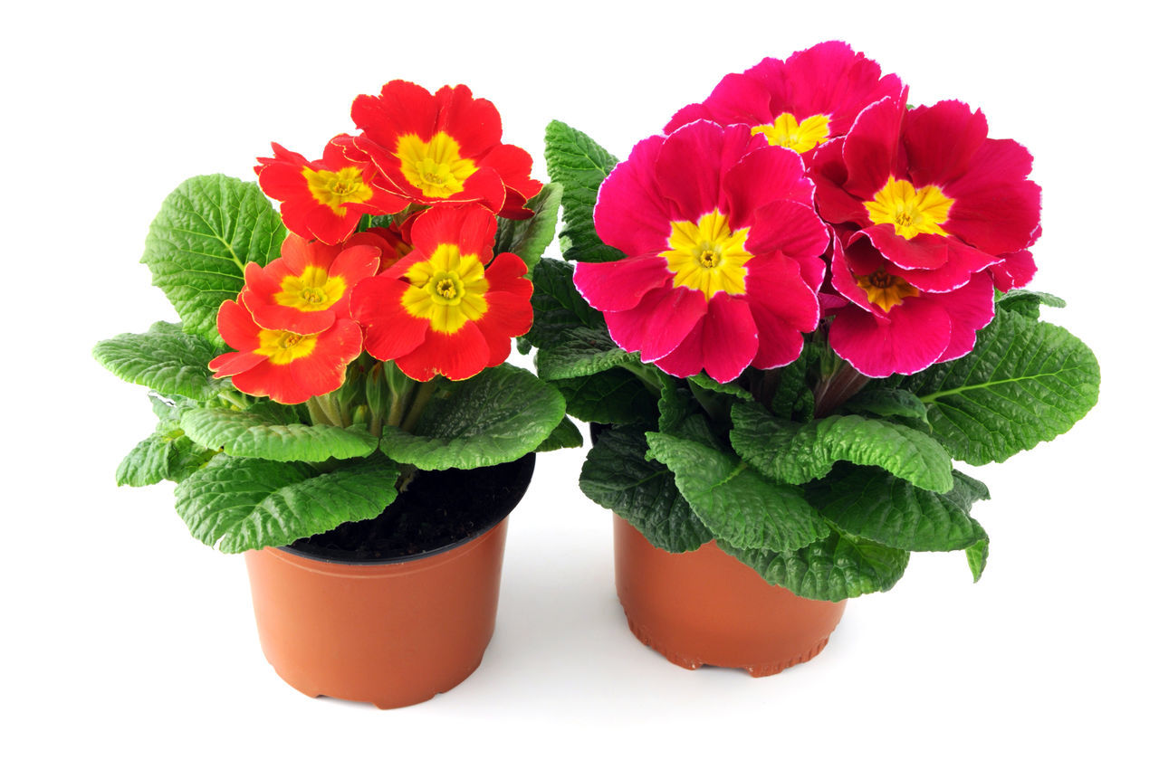 two primula flowerpots on red on white isolated background. potted. Beauty In Nature Flower Flower Head Green Color Plant Potted Potted Flower Potted Flowers Potted Plant Potted Plants Primrose Primroses Primula Primulas Red Red Color Red Flower White Background