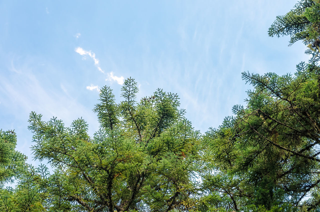 Looking up at pine tree branches and blue sky Background Branch Branches Brown Conifer  Coniferous Detail Evergreen Fir Forest Fresh Green Leaf Natural Nature Nature Needle Needles Oregon Pine Plant Season  Spruce Tree Wood