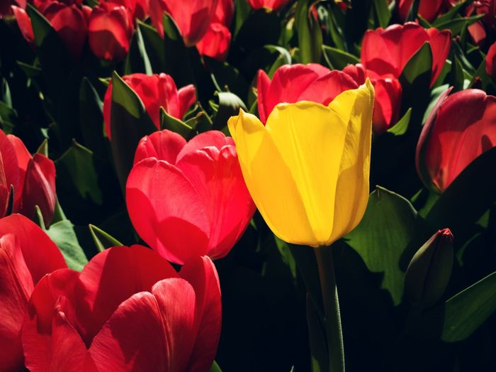 Flower Set 2 RahimNoel Rahim NY NYC Central Park - NYC New York ❤ Calm Vivid Park Avenue NYC Park Ave Flower Yellow Red Flower No People Red Flowers
