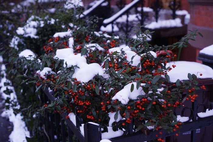 Cold Temperature Snow Winter Nature Outdoors Day Tree No People Close-up Beauty In Nature Flower Leaf Plant Red Nature Snow ❄ Brooklyn Street