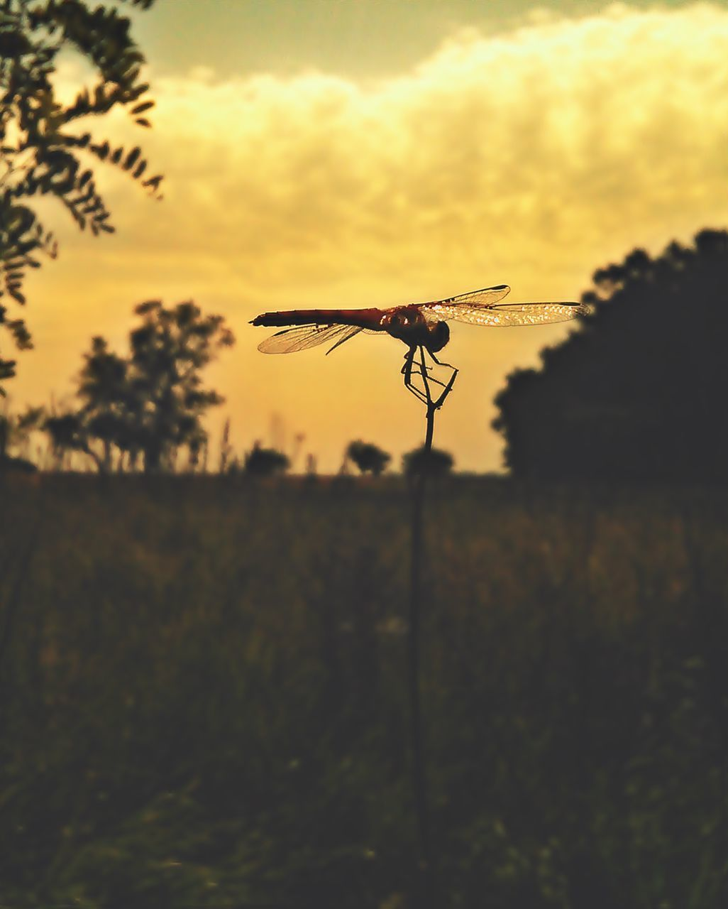 CLOSE-UP OF INSECT AGAINST SKY AT SUNSET