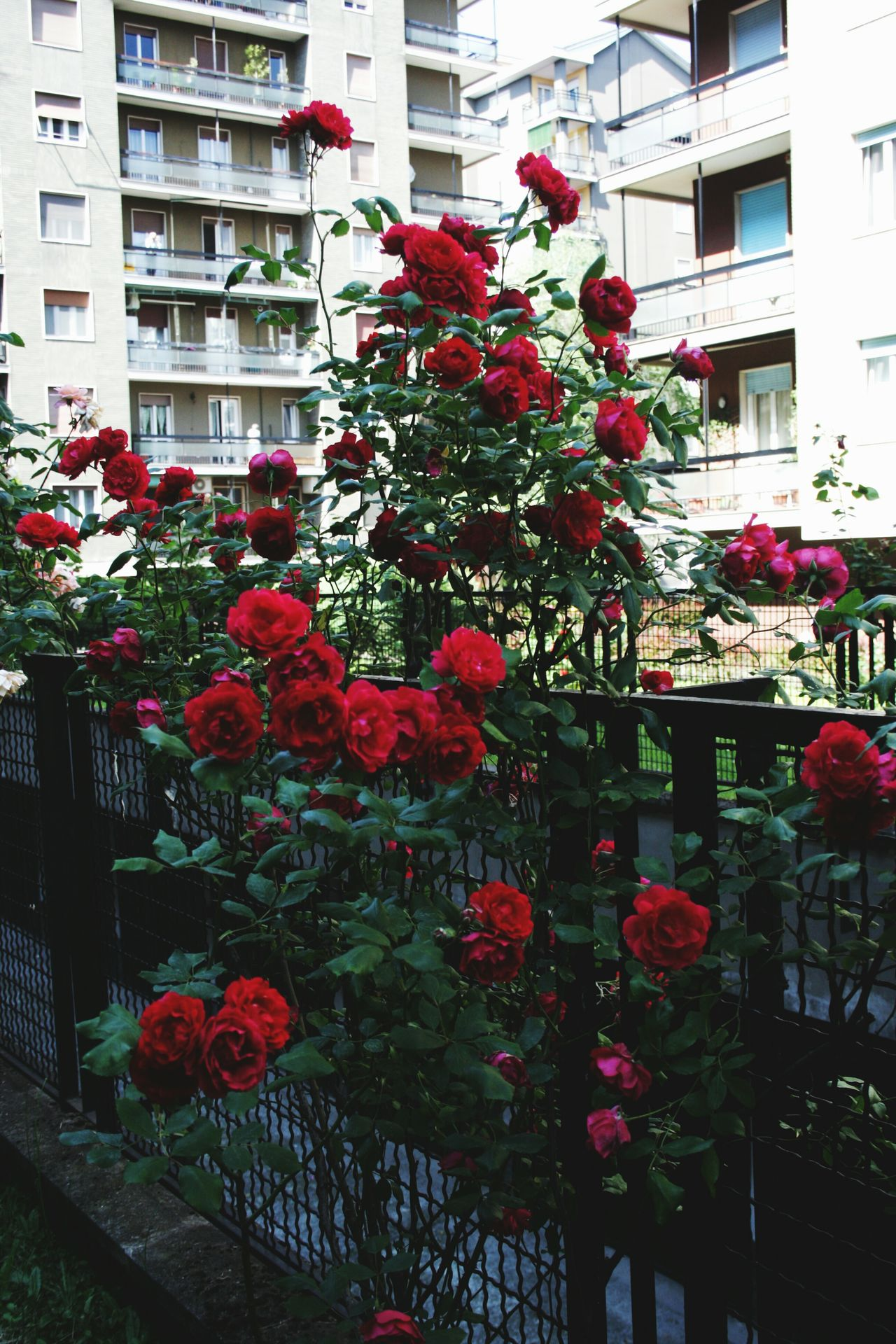 Red Flower Nature Roses Rosé