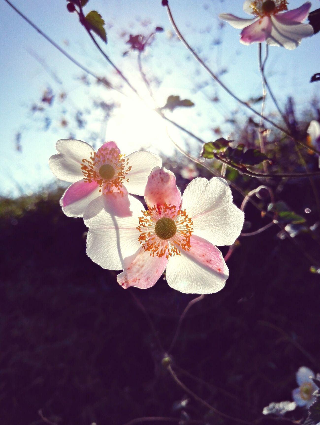 逆光的花 Flower 花朵 Flower Head flower#garden#nature#ecuador#santodomingoecuador#eyeEmfollowers#iphoneonly#nofiltrer#macro_garden#pretty#beautifulfollowmesho