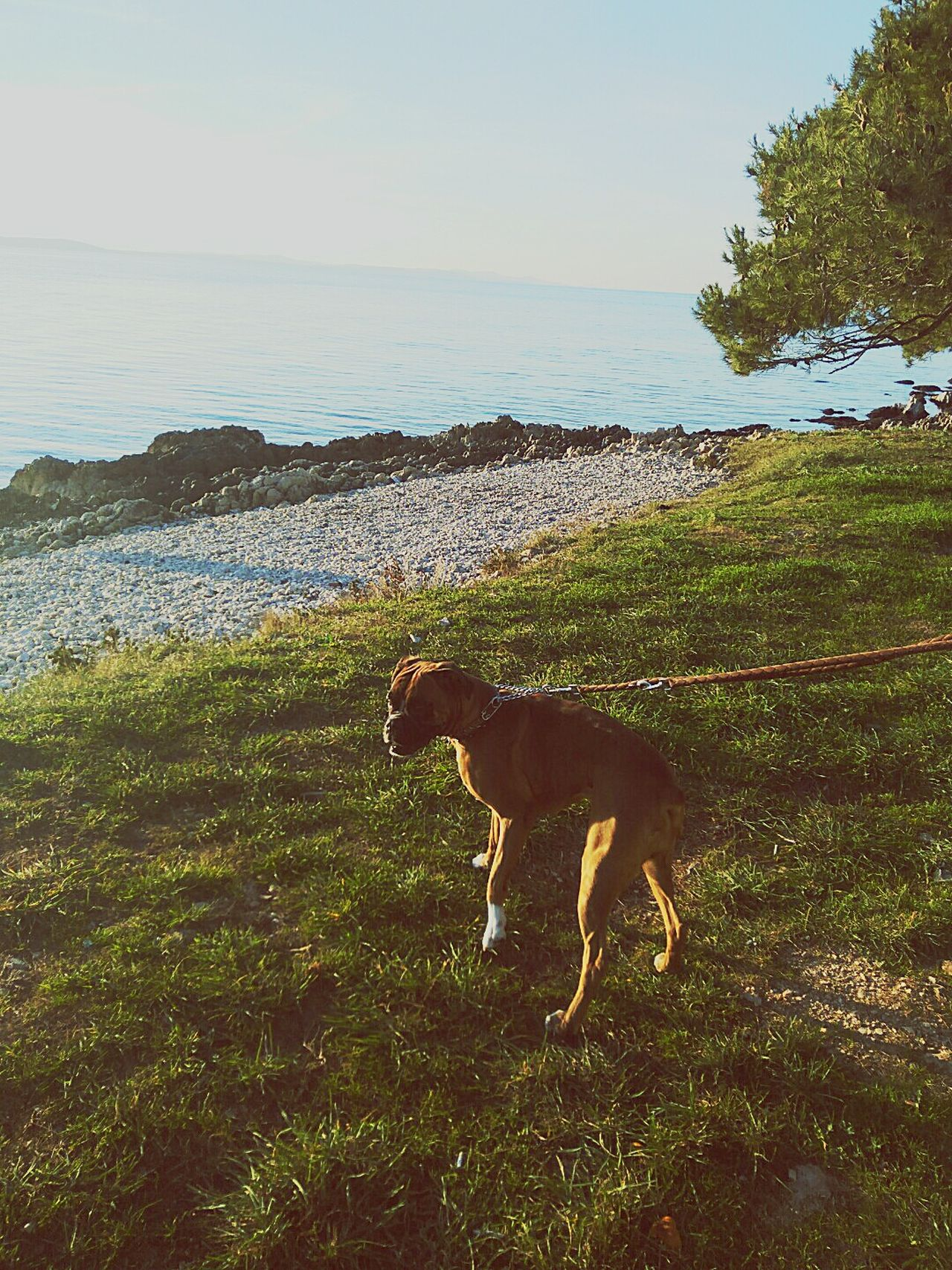 Domestic Animals Animal Themes One Animal Pets Dog Water Nature Sky Beach Grass Sea Beauty In Nature Outdoors Boxer Dogs