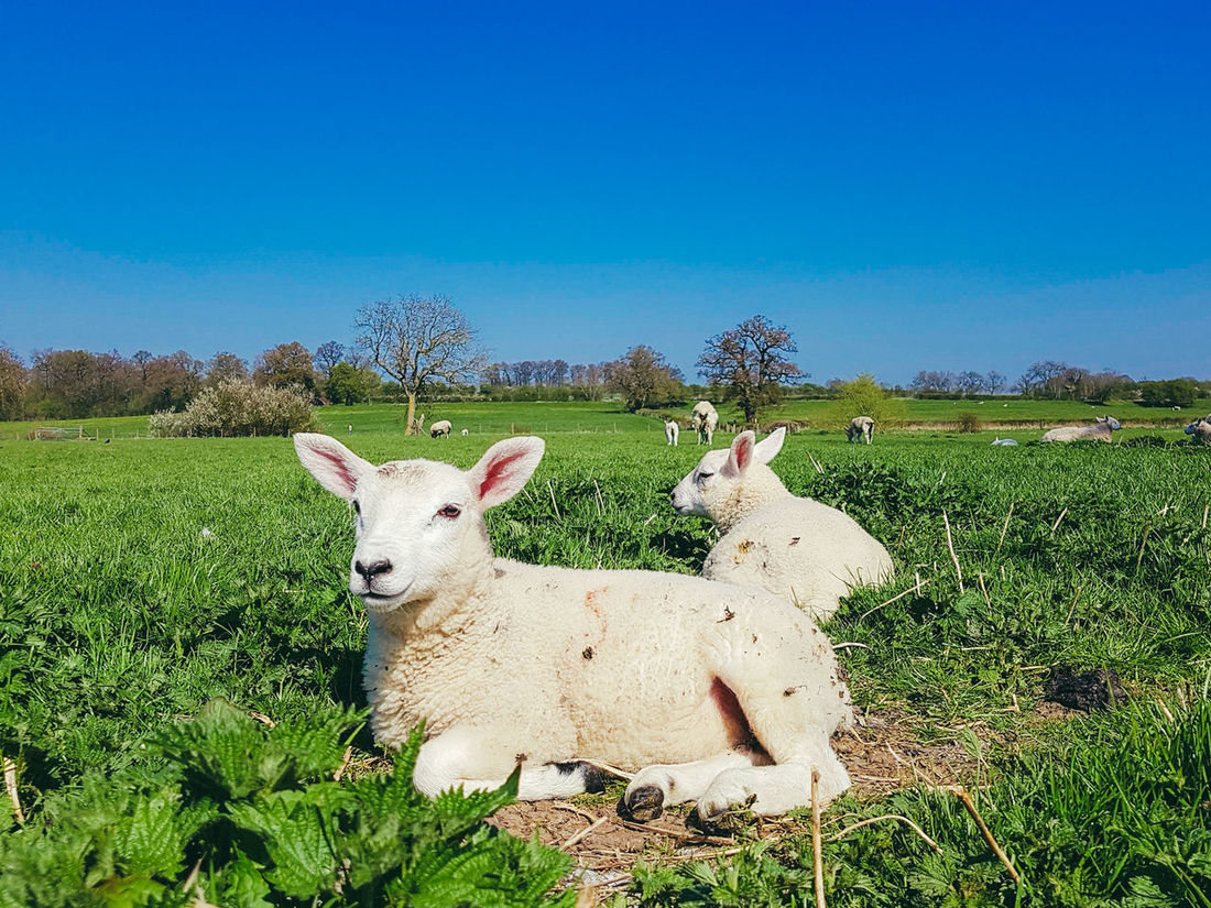 Lambs in an English field. Sky Livestock Landscape No People Nature Animal Themes Beauty In Nature Outdoors Grass Sheep Blue Sky Pasture Summertime Samsung Galaxy S7 Edge EyeEmNewHere Nature Photography Enjoying Nature Looking At Camera Baby Animals Baby Sheep Young Animal Field Nature_perfection Lambs Naturelovers