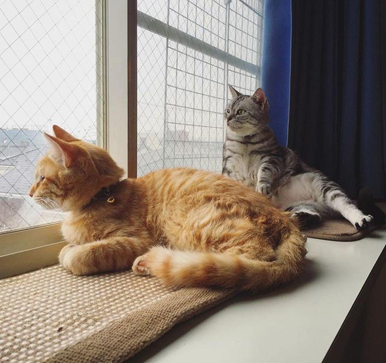 アメリカンショートヘアー アメショ Americanshorthair ズズ ズズ子 Zuzu ズズっぺ シルバータビー Cat Neko ねこ 猫 ねこ 茶トラ Cats Piopio Pio ピオ 雨☔️やだね〜…な出窓の2ニャンでおはようございます…😚😽💕