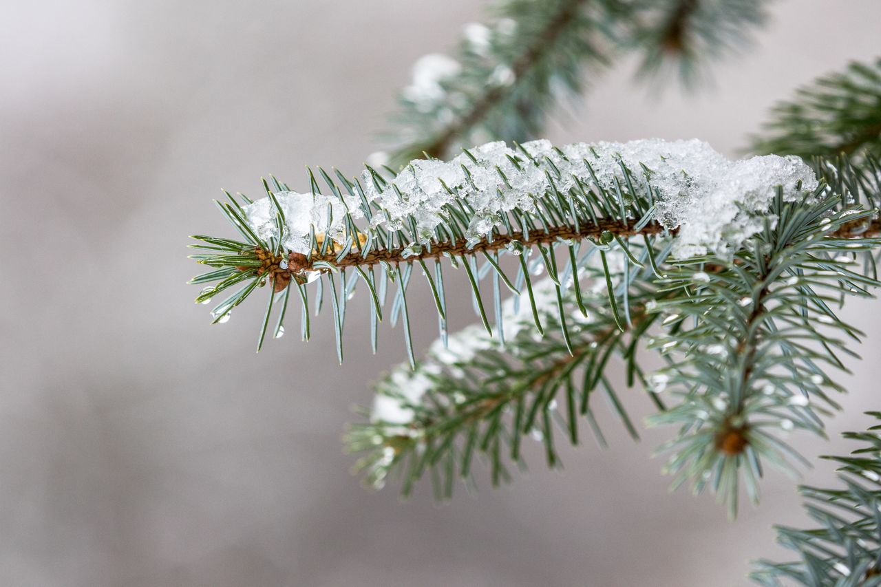 Beauty In Nature Branch Close-up Cold Temperature Day Focus On Foreground From My Point Of View Growth Nature Needle - Plant Part No People Outdoors Pinaceae Pine Cone Pine Tree Plant Snow Tree Winter