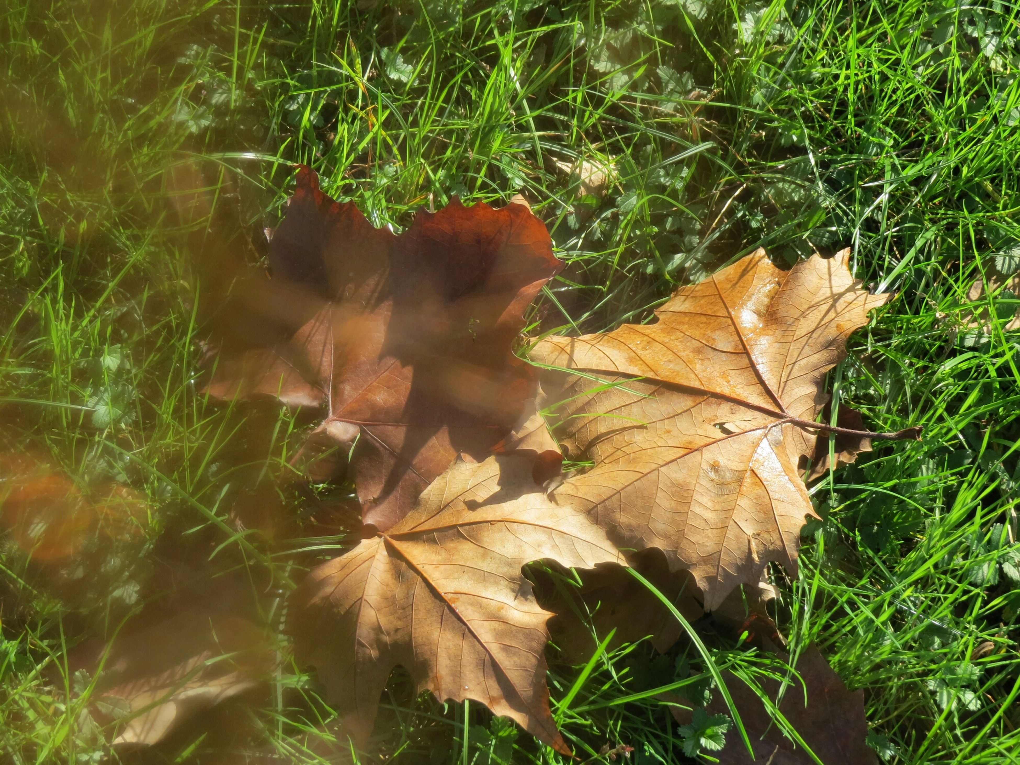 leaf, grass, dry, growth, field, nature, high angle view, plant, autumn, close-up, grassy, change, day, outdoors, fragility, sunlight, green color, no people, leaves, brown
