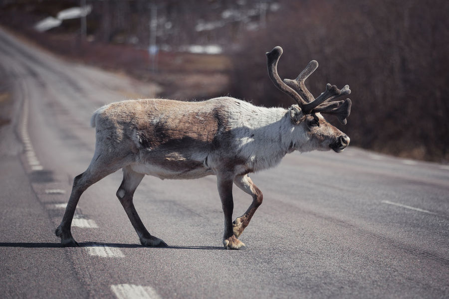 Reindeer by a road in Lapland Finland Lapland Norway Reindeer Reindeer Sighting Reindeer! Reindeer❤️❤️ Road Scandinavia Sweden Animal Themes Animal Wildlife Animals In The Wild Antler Close-up Day Deer Mammal Moose Nature No People One Animal Outdoors