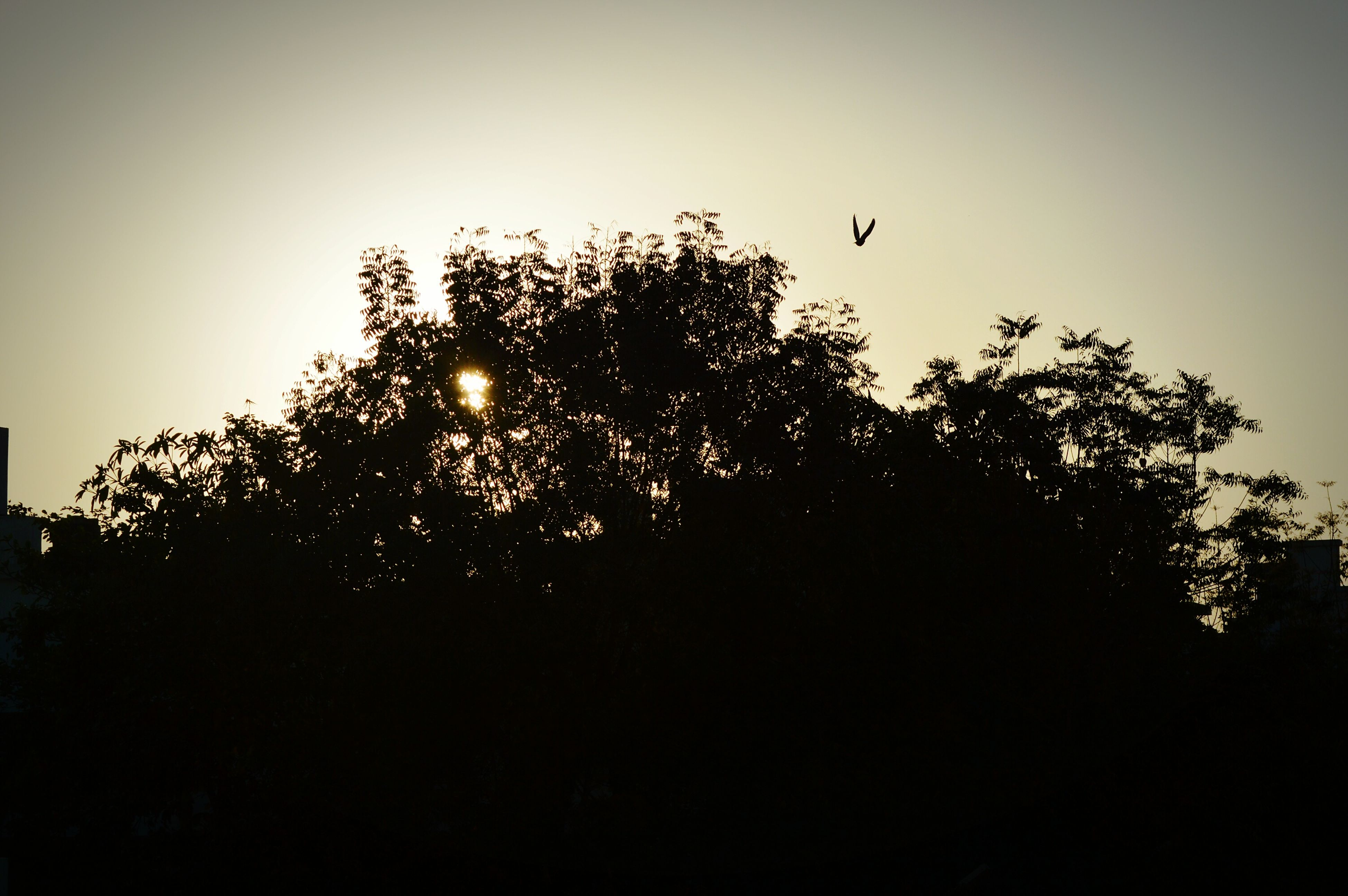 silhouette, clear sky, tree, low angle view, copy space, growth, beauty in nature, nature, tranquility, sun, sunset, tranquil scene, sky, scenics, outdoors, no people, branch, plant, sunlight, idyllic