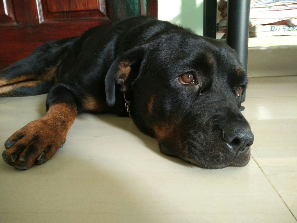 Beautiful stock photos of rottweiler, Animal Themes, Close-Up, Domestic Animals, Flooring