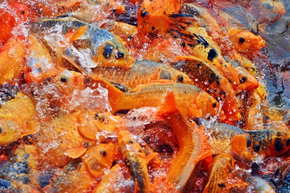 Beautiful stock photos of fish, Animal Themes, Animals In The Wild, Aquatic, Backgrounds