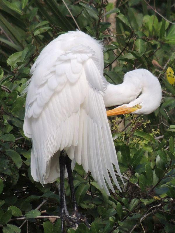 Florida Audubon preserve Bird Bird Photography Great Egret preening. EyeEm Nature Lover Nature_collection Nature Photography