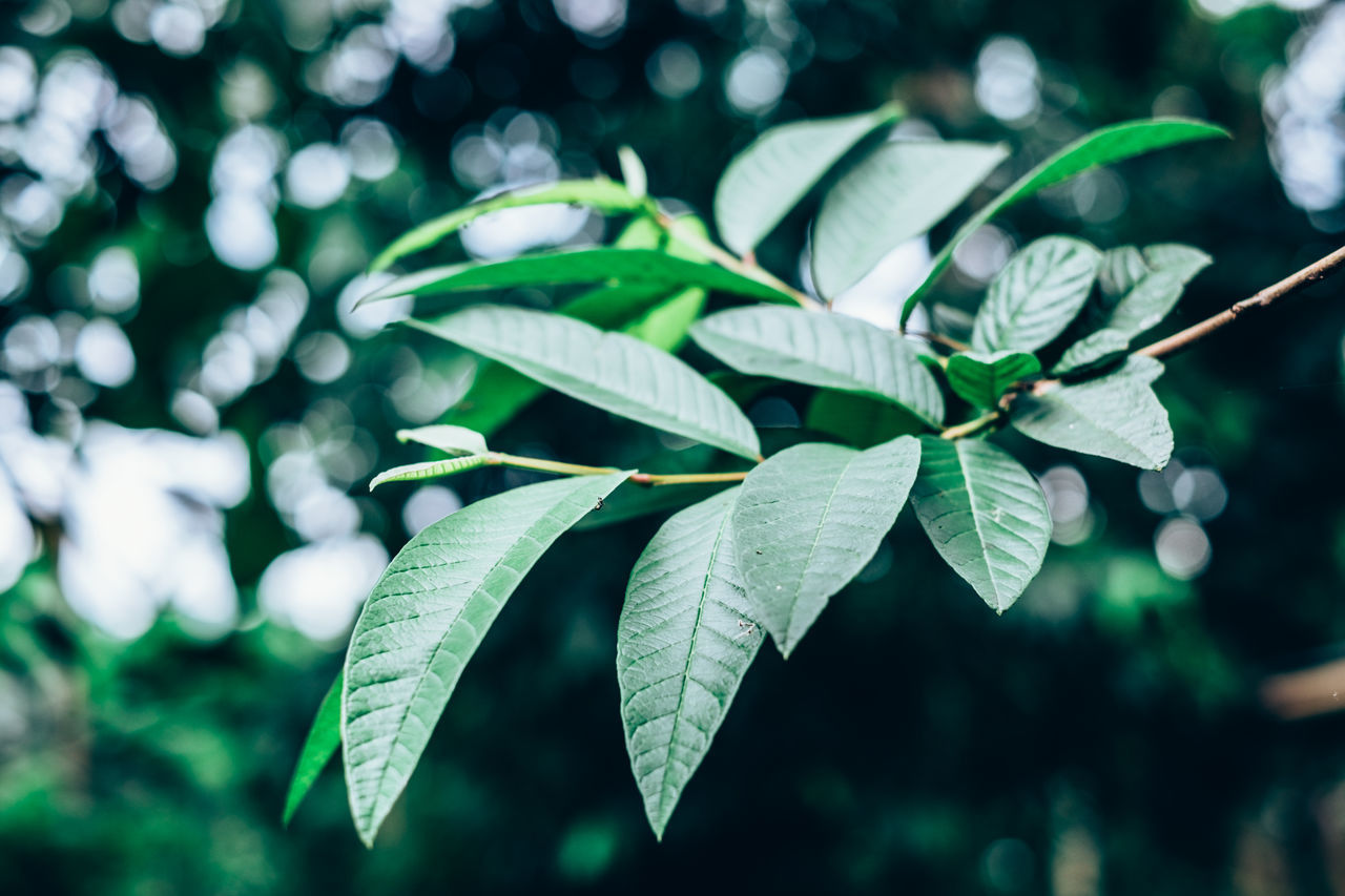 Guava leaves. Selective focus Beauty In Nature Bokeh Close-up Copy Space Day Focus On Foreground Fragility Freshness Green Color Growth Guava  Herbal Leaf Leaves Lines Medicinal Nature Organic Outdoors Pattern Plant Selective Focus