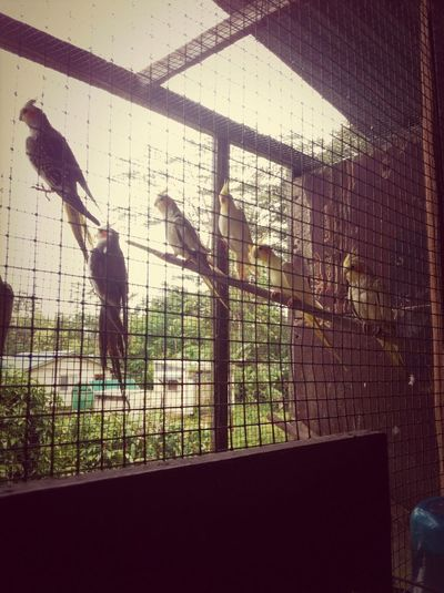 Aunty Minis Birds