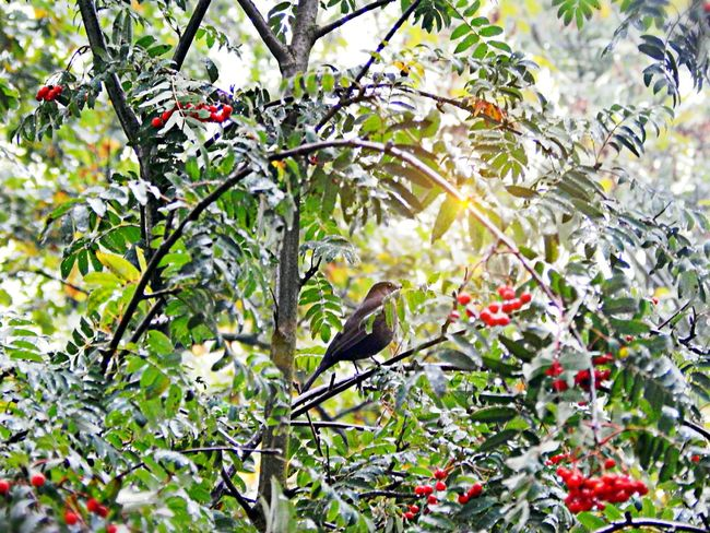 Bird Tree Nature No People Day Beauty In Nature Animal Wildlife Sunset Remembersummer Wildberries Nature Photography Naturelove Bright Colors Hobbyphotography