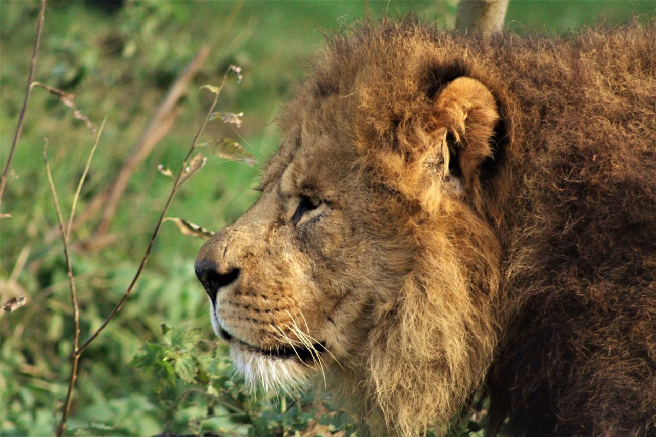 Animal Themes Animal Wildlife Animals In The Wild Close-up Day Grass Lion - Feline Male Lion Male Pion Portrait Mammal No People One Animal Outdoors