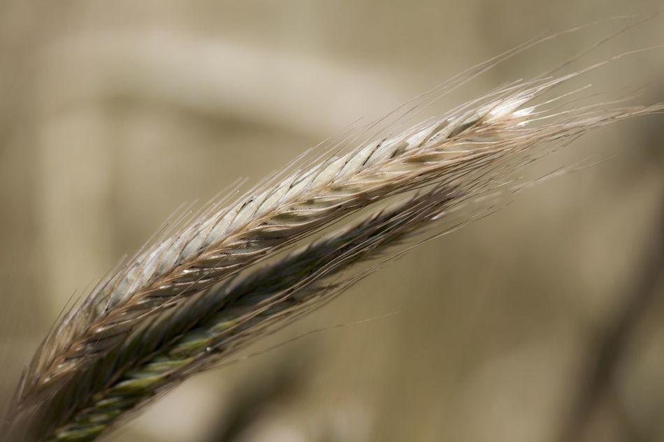 Cereal Plant Close-up Crop  Day Farm Field Growth Korn Kroatien Nahaufnahmen Nature No People Outdoors Plant Rural Scene