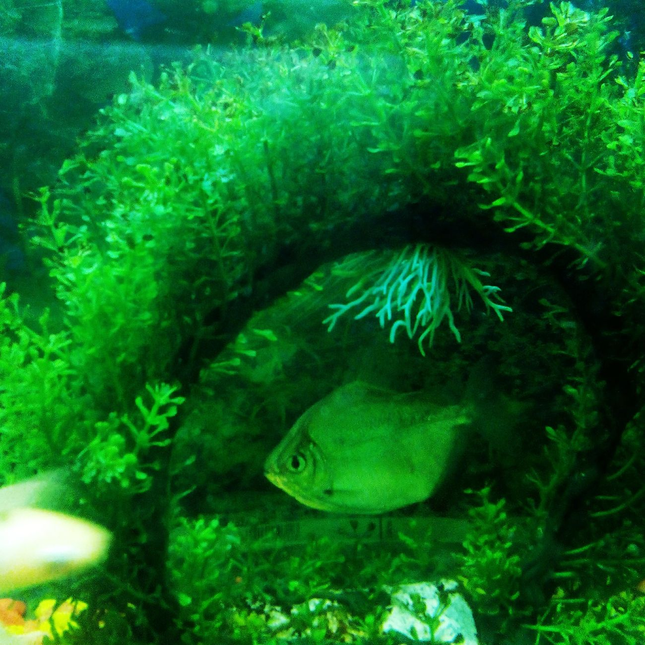 Aquarium Fish under Aquatic Plants Naturally Framed Timely clicked