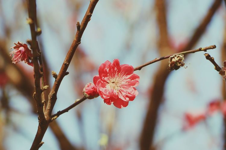 Mei flower, Plum flower Mei Flower Mei Hua Pink Flower Blossom Nature Plum Blossom Plum Flower Blooming Flower Plant In Bloom Botany