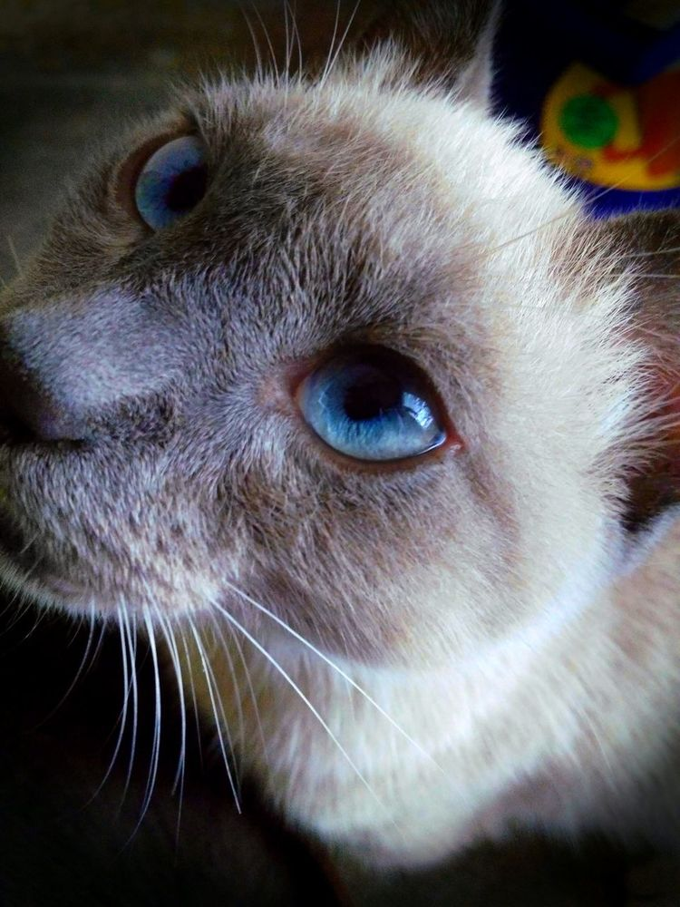 Blue Eyes Cat Comparative