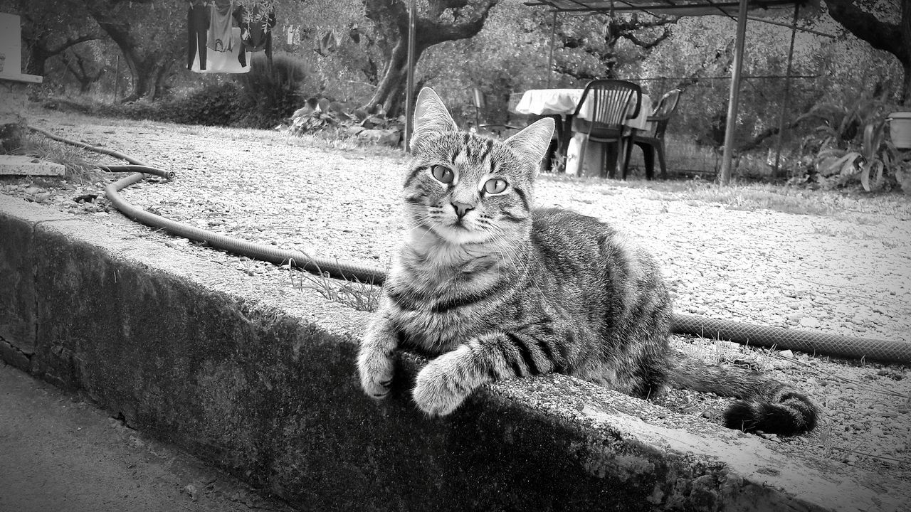 domestic cat, animal themes, one animal, feline, mammal, sitting, pets, domestic animals, looking at camera, outdoors, day, no people, portrait, nature
