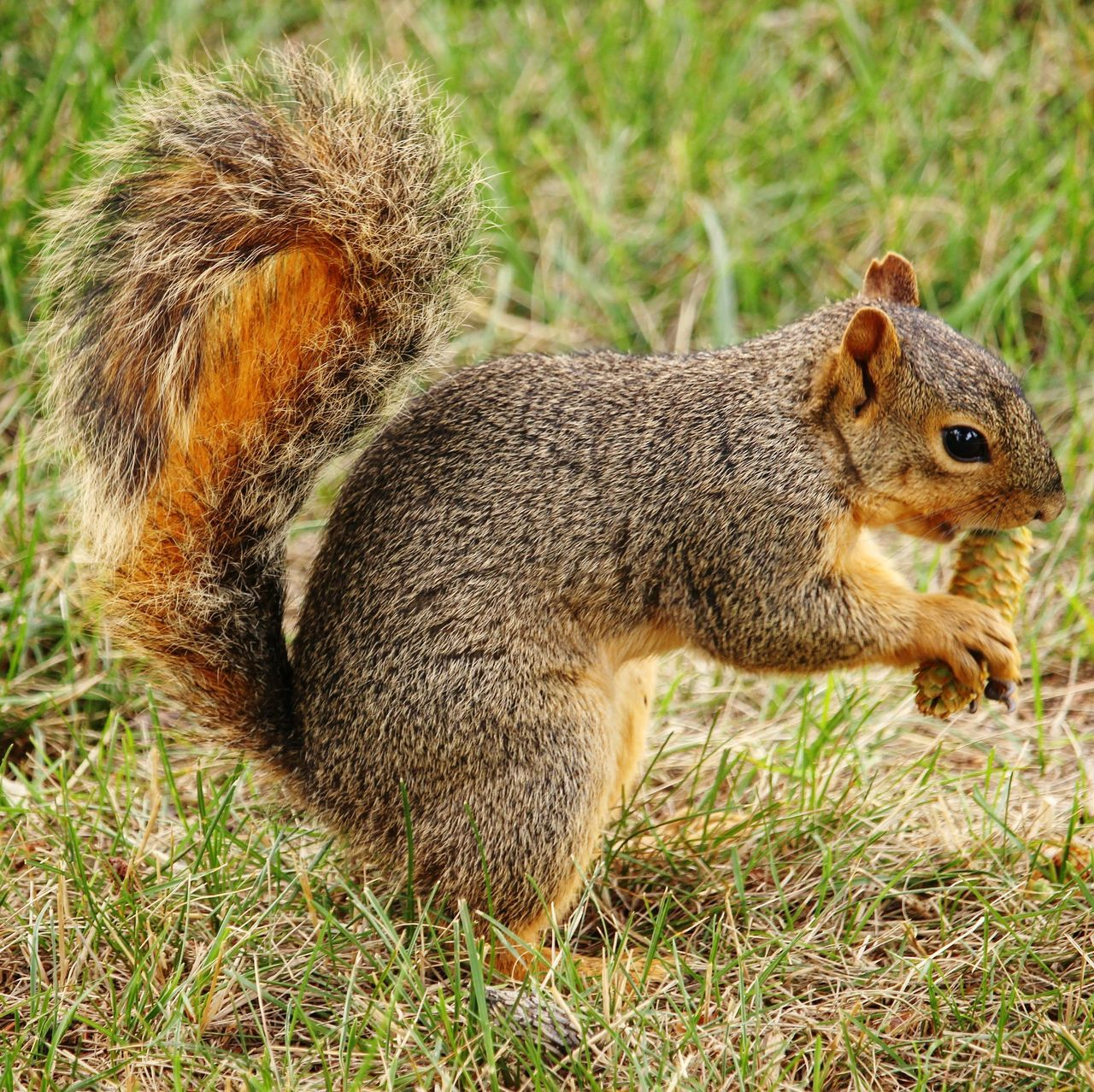 grass, field, animals in the wild, one animal, mammal, no people, nature, animal themes, squirrel, outdoors, day, close-up