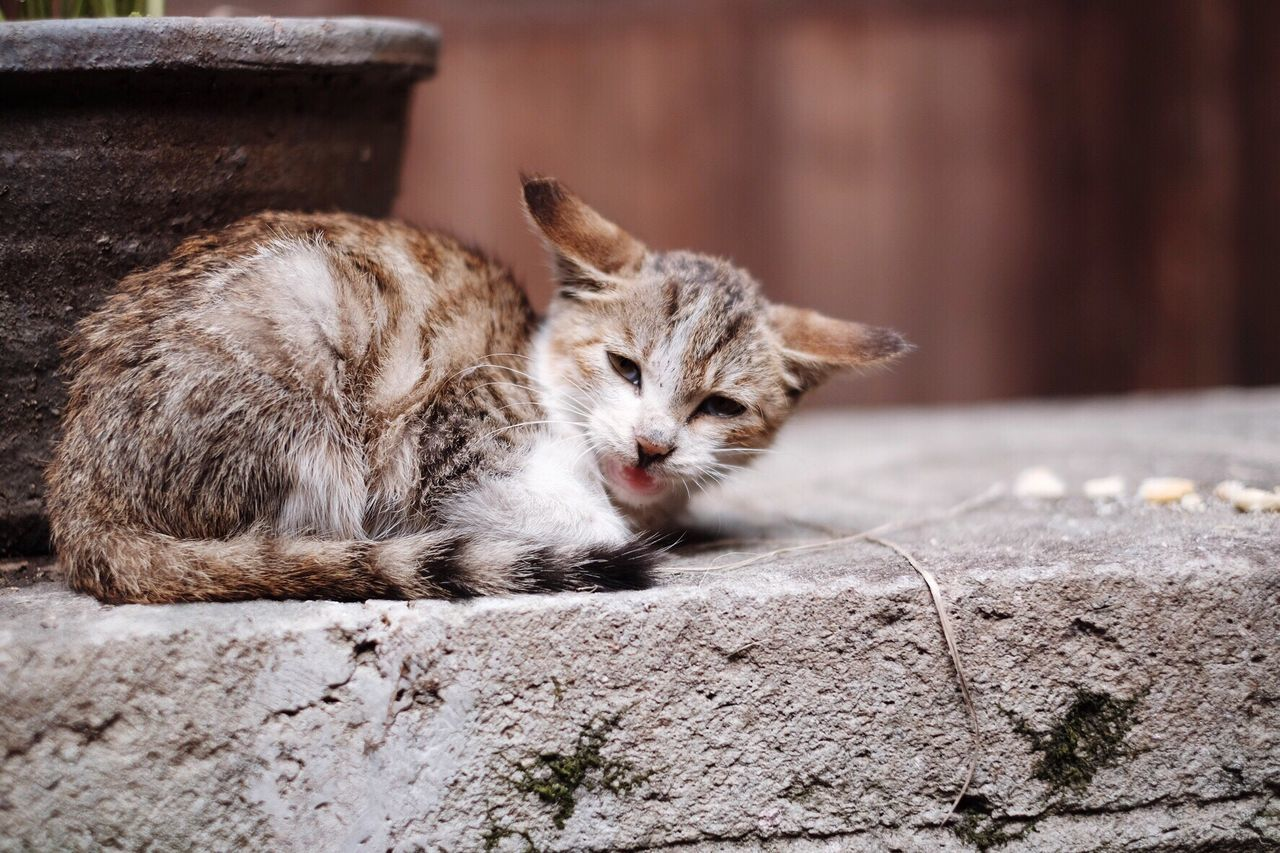 domestic cat, animal themes, one animal, mammal, cat, feline, domestic animals, pets, whisker, focus on foreground, looking at camera, no people, day, portrait, lying down, relaxation, outdoors, sitting, close-up