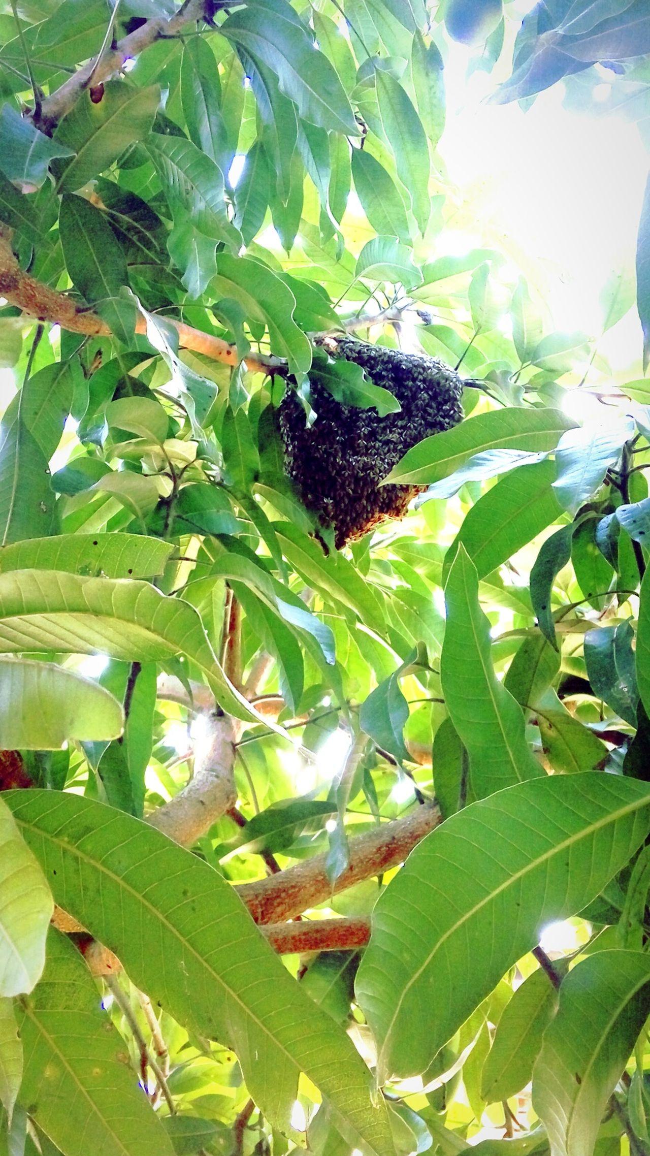 Freshness Animal Themes Leaf Green Color Nature Growth On Mangos Tree Kota Bharu, Malaysia