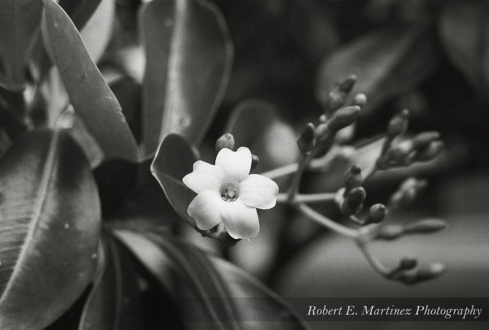 """ The most colorful thing in the world is black and white, it contains all colors and at the same time excludes all.""-Vikrmn I took this with my Nikon F3HP on Ilford HP5 35mm film, this is the Fagraea berteriana (sometimes as F. berteroana), but it is known as the Pua keni keni here in Hawaii. Luckywelivehawaii Honolulu, Hawaii Hello World Check This Out Taking Photos Tranquil Scene EyeEmBestPics Eye Em Nature Lover Getting Away From It All Outdoors Scenics Beauty In Nature Blackandwhite Nikon F3 35mm Film EyeEm Best Shots Filmisnotdead Check This Out Hello World Taking Photos Enjoying Life"