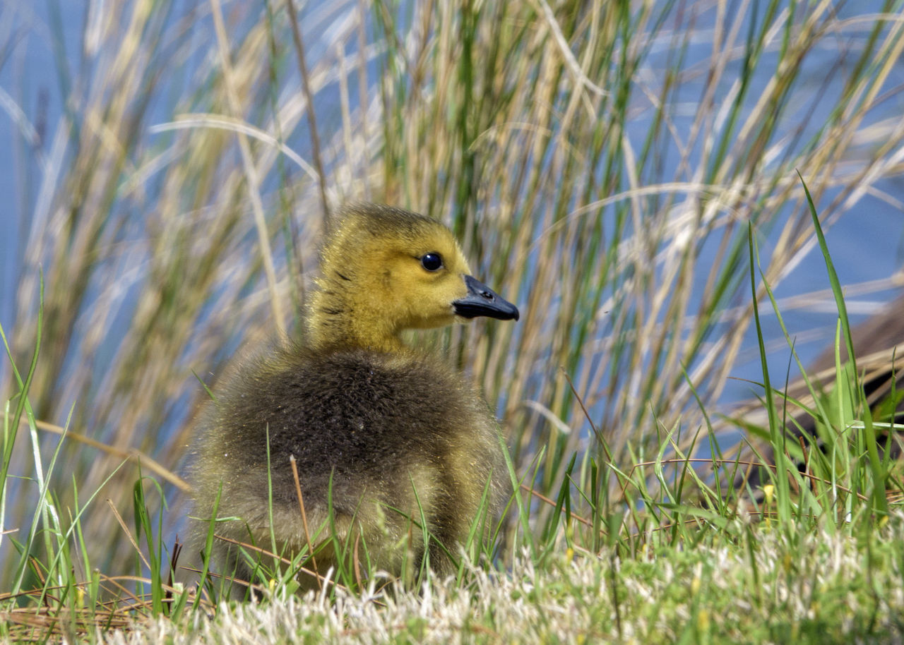 grass, gosling, animals in the wild, animal themes, bird, young bird, nature, day, one animal, goose, young animal, field, outdoors, animal wildlife, no people, duckling, plant, sunlight, close-up, beauty in nature