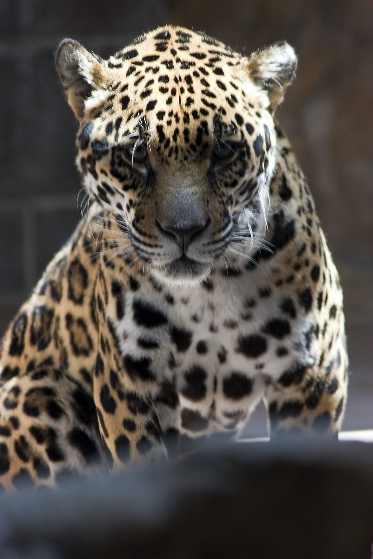 Animal Themes Animals In The Wild Close-up Day Leopard Mammal Nature No People One Animal Outdoors Spotted