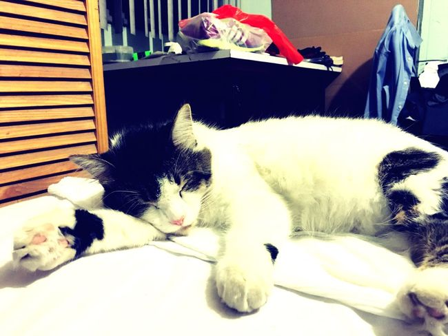 Dormilona Cat Domestic Cat Gato Gato Dormindo Sleeping Sleep Dormir Durmiendo Mascota Pet Compañera Dreaming Soñando