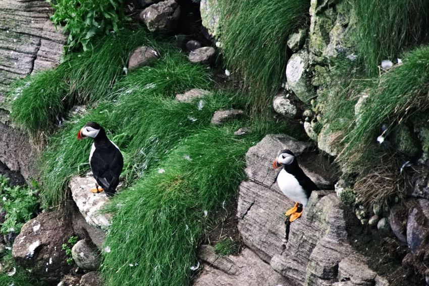 Puffins Bird Animal Themes Outdoors High Angle View Animals In The Wild No People Perching Puffins Crawton Fowlsheugh Scotland Aberdeenshire Cliff Seabirds Scenics Beauty In Nature
