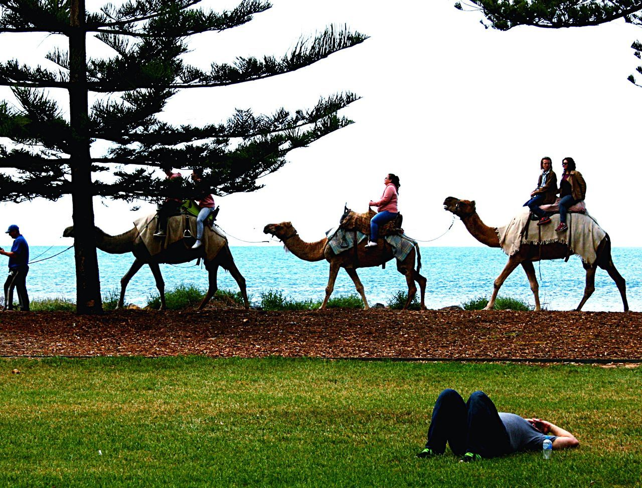 Camel rides and sleeping Camel Riding Man Alone Man Resting Beach Pine Trees Against The Sky