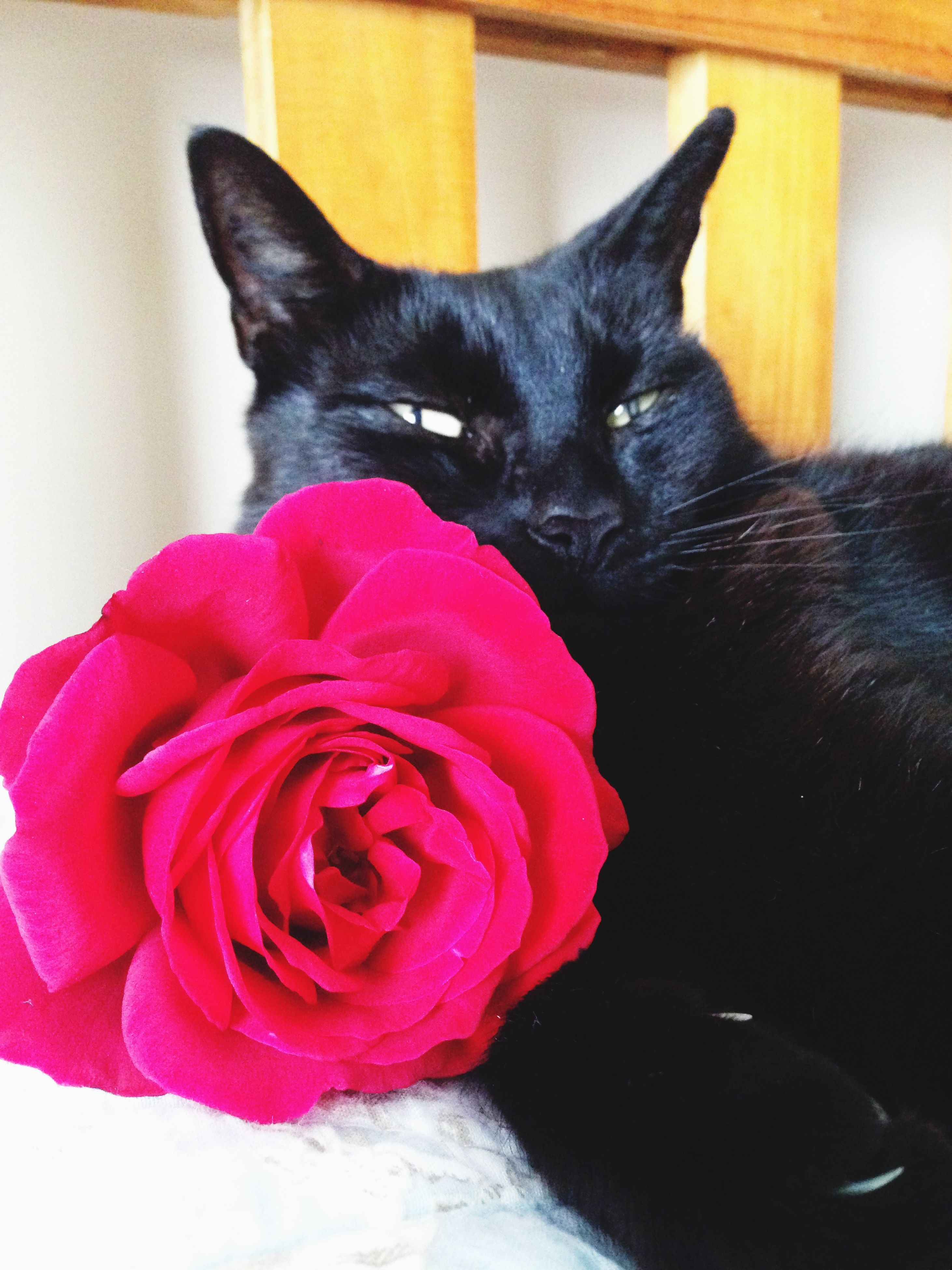 pets, domestic animals, domestic cat, indoors, cat, one animal, animal themes, mammal, feline, whisker, home interior, relaxation, black color, close-up, bed, looking at camera, red, portrait, sitting, resting