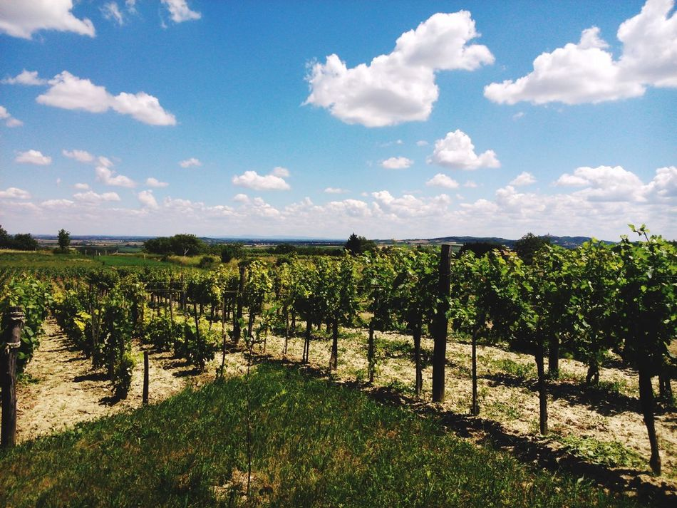 Hello World Enjoying Life Taking Photos View Relaxing Wineyard Wine Country Grapes Sky And Clouds Landscape Nature