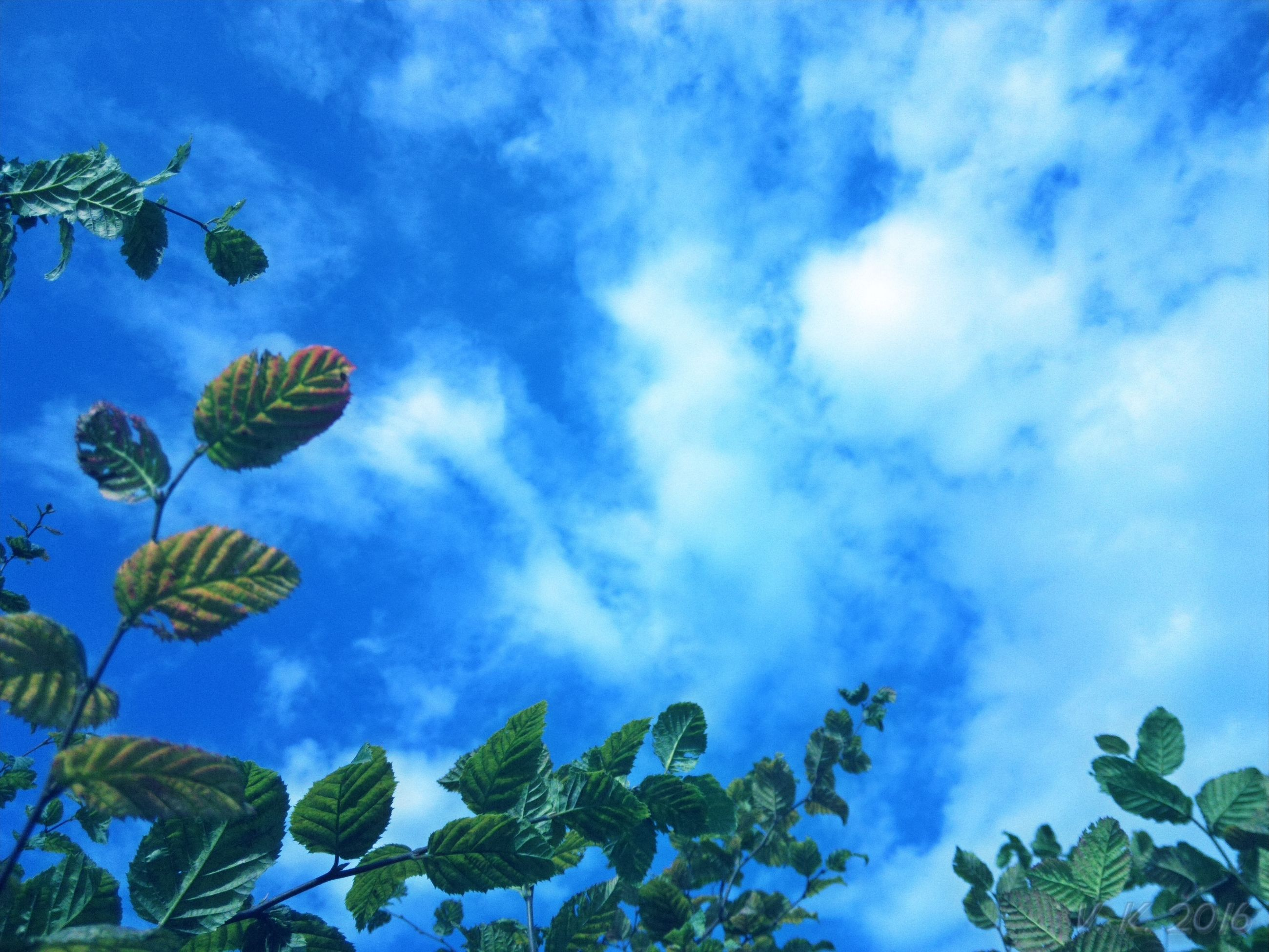 low angle view, sky, cloud, blue, beauty in nature, cloud - sky, scenics, growth, leaf, tree, nature, tranquility, tranquil scene, day, high section, cloudy, outdoors, tall - high, no people, majestic, green, cloudscape, green color