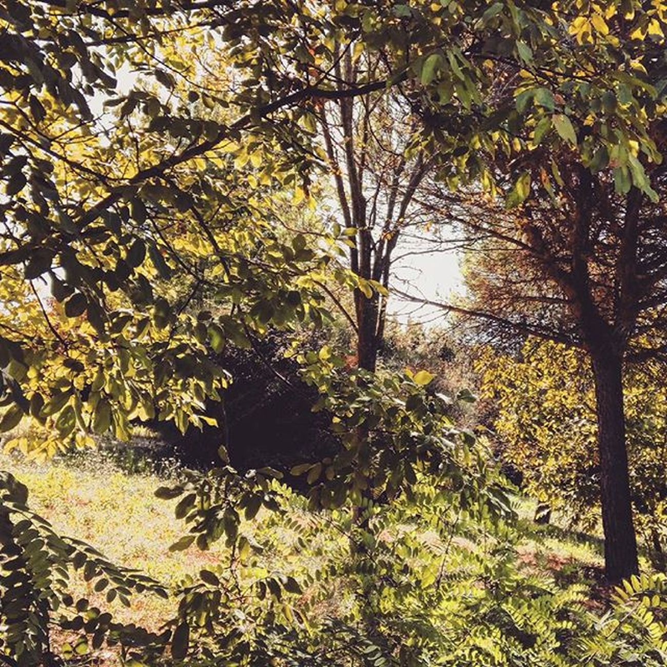 🌿 🌿 . . Leavesfalling Leaf Leaves Fall Autumn Fallcolors Autunno  Sun November Sunlight Sunshine Trees Parco Alberi Park Walk Yellowleaves Instanature Naturelovers NaturalBeauty Natura Nature Marche Liveloveitaly Italia igersitalia igersmarche igdaily igerseurope landscape